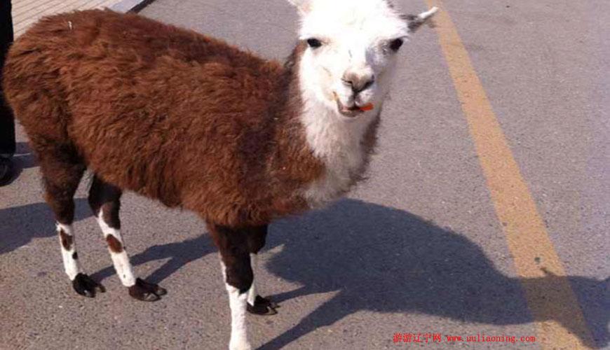 属羊游客可免费游大连动物园