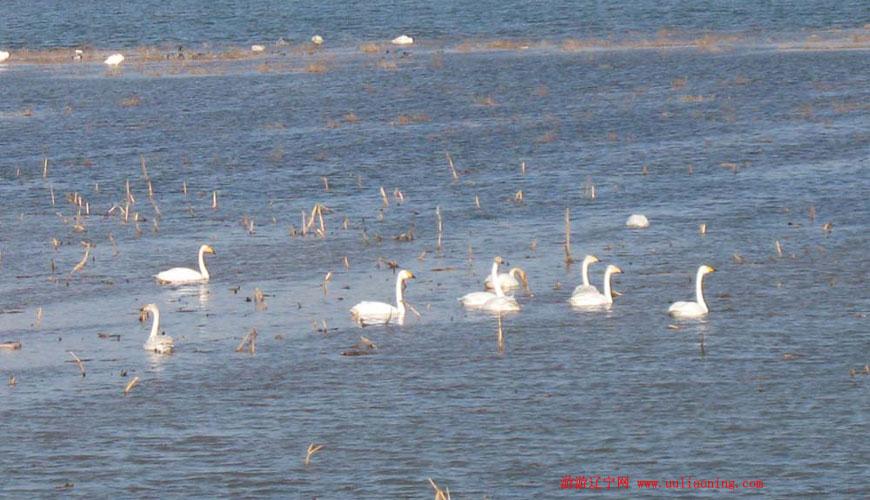 朝阳境内湿地候鸟越来越多