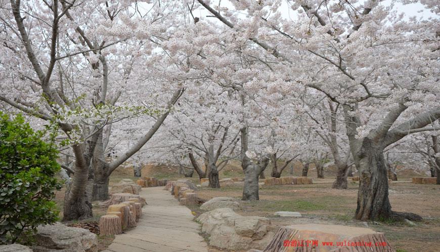 第七届大连旅顺国际樱花节2015年4月25日开幕